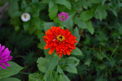 Blommande röd Zinniablomma (Zinniaelegans) Royaltyfria Foton