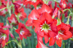 Blommande röda Amaryllis Arkivfoto