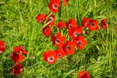 Blommande röda anemoner Arkivfoto