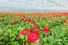 Blommande röda gerberas i ett holländskt växthus Arkivbild