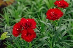 Blommande röda nejlikor i växthus royaltyfri foto