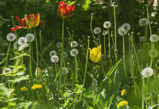 blommande röda och gula tulpan och maskrosor Arkivbild
