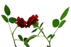 Blommande röda rosor, kortkort Royaltyfri Fotografi