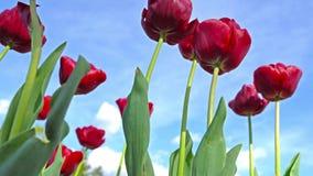 Blommande röda tulpan på en bakgrund för blå himmel, closeup av tulpan som svänger i vinden arkivfilmer