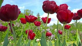 Blommande röda tulpan på en bakgrund för blå himmel, closeup av tulpan som svänger i vinden lager videofilmer