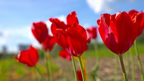 Blommande röda tulpan på en bakgrund för blå himmel, closeup av tulpan som svänger i vinden stock video