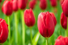 Blommande röda tulpan, selektiv fokus, grunt djup av fältet fotografering för bildbyråer