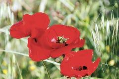 Blommande röda vallmo Arkivfoto