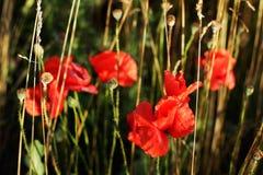 Blommande röda vallmo i fältet använder som bakgrund Fotografering för Bildbyråer
