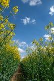 Blommande rapsfrö mot blå och vit himmel Royaltyfria Foton