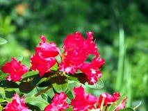 Blommande rhododendron 'Gertrud Schale', Royaltyfria Bilder