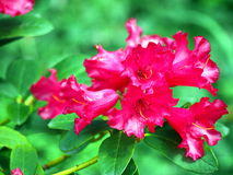 Blommande rhododendron 'Gertrud Schale', Royaltyfri Bild
