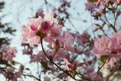 Blommande rhododendron i blå himmel, rosa färgblommor, vår, naturbakgrund Royaltyfri Bild