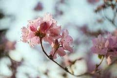 Blommande rhododendron i blå himmel, rosa färgblommor, vår, naturbakgrund Fotografering för Bildbyråer