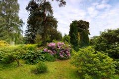 Blommande rhododendron i ljungträdgården Royaltyfri Foto