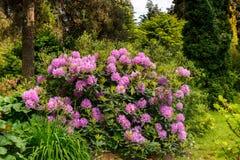 Blommande rhododendron i ljungträdgården Arkivbilder