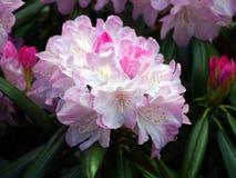 Blommande rhododendrondegronianum Carriere Royaltyfri Foto