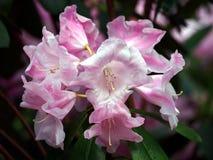 Blommande rhododendrondegronianum Carriere Arkivbild