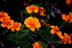 Blommande ringblomma utomhus Royaltyfri Fotografi