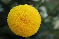 Blommande ringblommabakgrund Arkivbilder