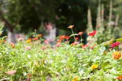 Blommande ringblommatagetes i tr?dg?rden arkivbilder