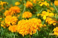 Blommande ringblommor Arkivfoton