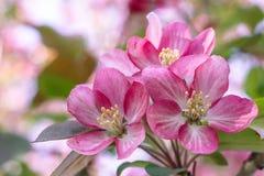 Blommande rosa äppleträd Arkivbilder