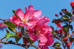 Blommande rosa äppleträd mot den blåa himlen fotografering för bildbyråer
