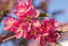 Blommande rosa Apple-träd arkivbilder