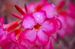 Blommande rosa Azalea Afer Rain, närbild, selektiv fokus fotografering för bildbyråer