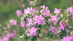 Blommande rosa Azalea Bush Royaltyfria Bilder