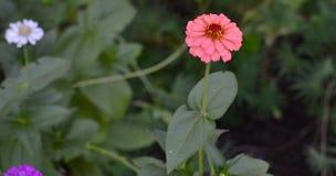 Blommande rosa blommacloseup för Zinnia (Zinniaelegans) Royaltyfri Bild