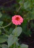 Blommande rosa blommacloseup för Zinnia (Zinniaelegans) Arkivbild