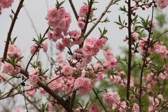 Blommande rosa blomningar i tidig vår Arkivbild