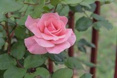 Blommande rosa färgrosblomma på det trädgårds- järnstaketet arkivbild