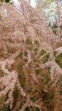 Blommande rosa färgväxt Royaltyfri Bild