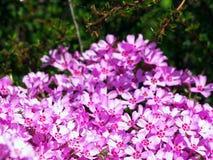 Blommande rosa floxsubulata - mossaflox Royaltyfri Fotografi