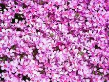 Blommande rosa floxsubulata - mossaflox Royaltyfri Foto