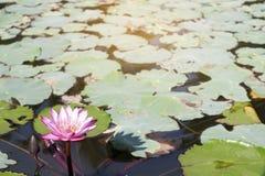 Blommande rosa lotusblomma i pölen fotografering för bildbyråer