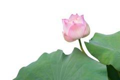 Blommande rosa lotusblommablomma med lotusblommasidor Fotografering för Bildbyråer