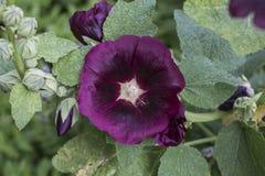 Blommande rosa malva & x28; hollyhock& x29; i den trädgårds- closeupen royaltyfri foto
