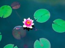 Blommande rosa näckrors Fotografering för Bildbyråer