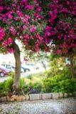 Blommande rosa oleanderträd i staden Arkivbild