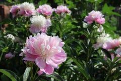 Blommande rosa pion Fotografering för Bildbyråer