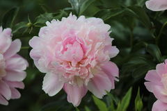 Blommande rosa pioner i trädgården Fotografering för Bildbyråer