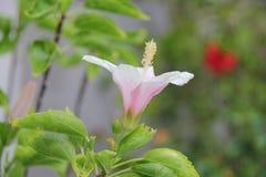 Blommande rosa skor blomma eller kines steg fotografering för bildbyråer