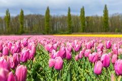 Blommande rosa tulpanfält i Nederländerna Arkivbilder