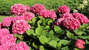 Blommande rosa vanlig hortensia med gröna staket royaltyfri bild