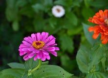 Blommande rosa Zinniablomma (Zinniaelegans) Royaltyfria Bilder