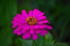 Blommande rosa Zinniablomma (Zinniaelegans) Royaltyfri Bild